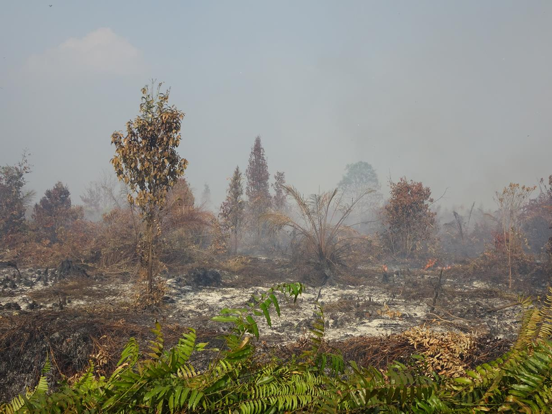Kebakaran melalap tanaman sawit muda dan vegetasi lainnya di lahan gambut dalam konsesi PT RRP yang sudah dicabut izinnya di Desa Buluh Apo pada titik koordinat  N1°8'54.40